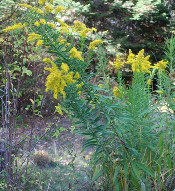Goldenrod that was in slightly amended soil and was water regularly. It's a bit of a bully