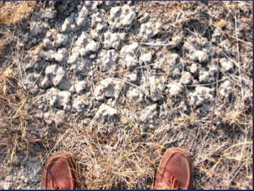 The soil surface, cracked and covered with white calcium carbonate. From Ron Larson's powerpoint presentation to Klamath Basin Native Plant Society ( https://www.klamathbasinnps.com/Resources/Documents/Applegates%20Milk-Vetch%20Presentation%20Dec%202013.pdf )