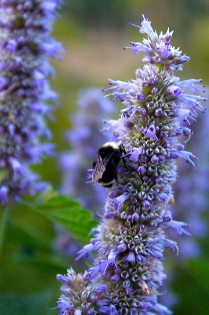 Bumble Bee on anise hyssop