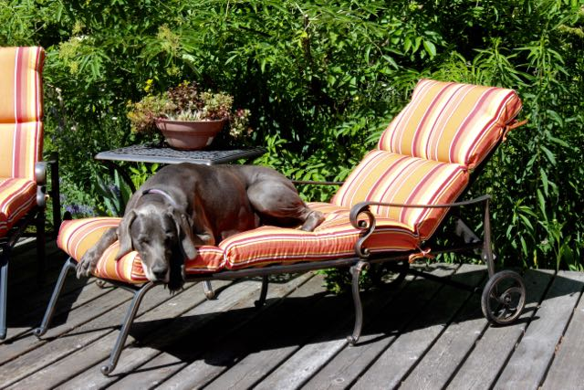 Max appreciates my lounge chairs on hot summer afternoons. Who's the smarter species?