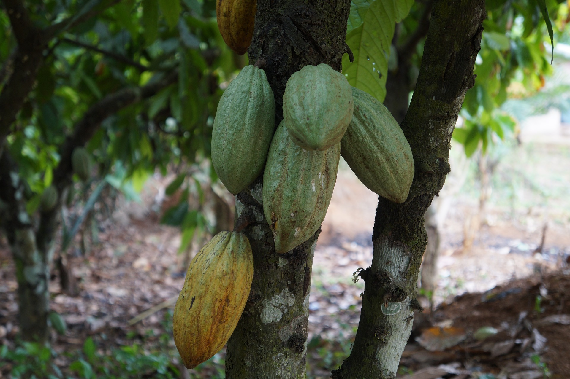 Cacao pods on tree.jpg