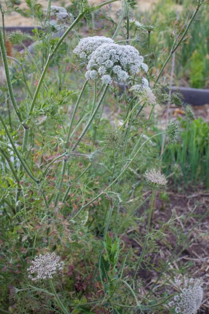 Second year carrots produce flowers and then seed. These flowers attract beneficial insects who prey on some of the pest insects.