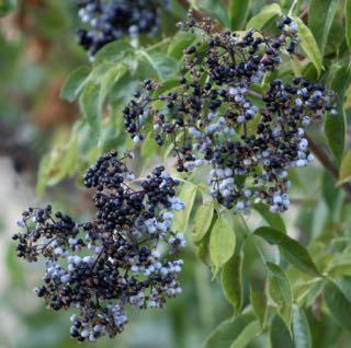 Elderberry  (Sambucus spp.)