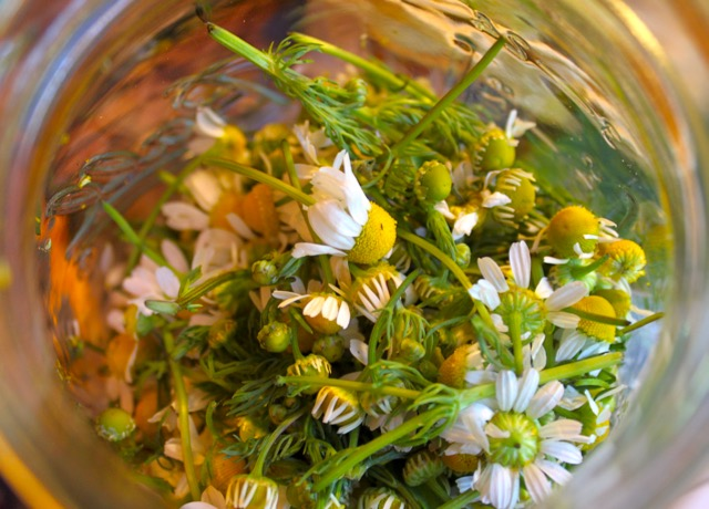 Chamomile in jar for preparation.