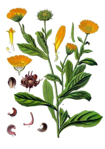 Calendula illustration