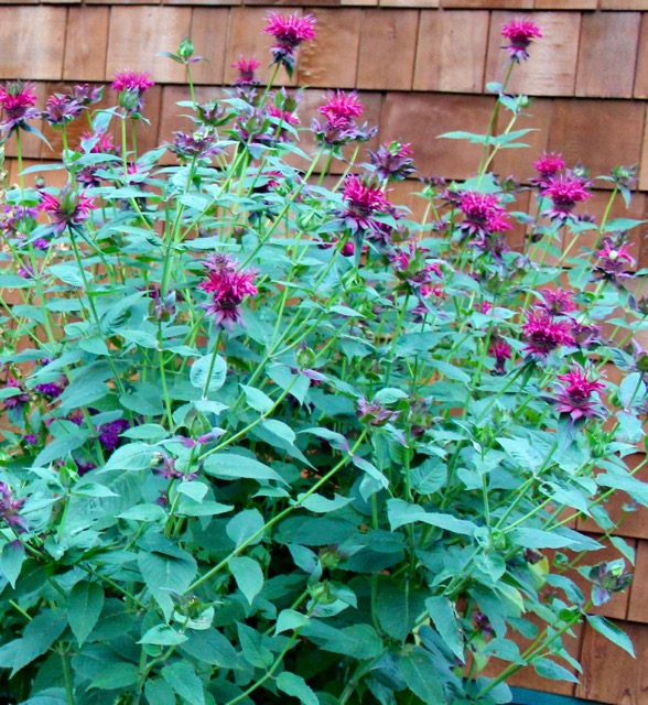 Cultivar 'Crimson' Beebalm - Unruly, rangy and tall, these plants are better suited to the back or center of a flower garden. They are deer resistant too!