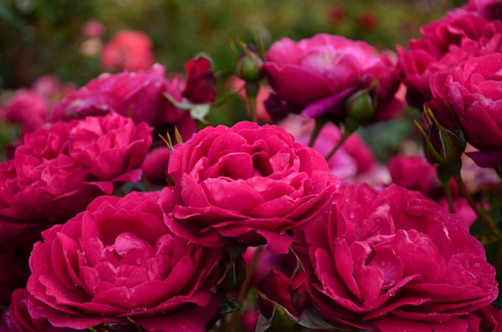 Rose #4.jpg