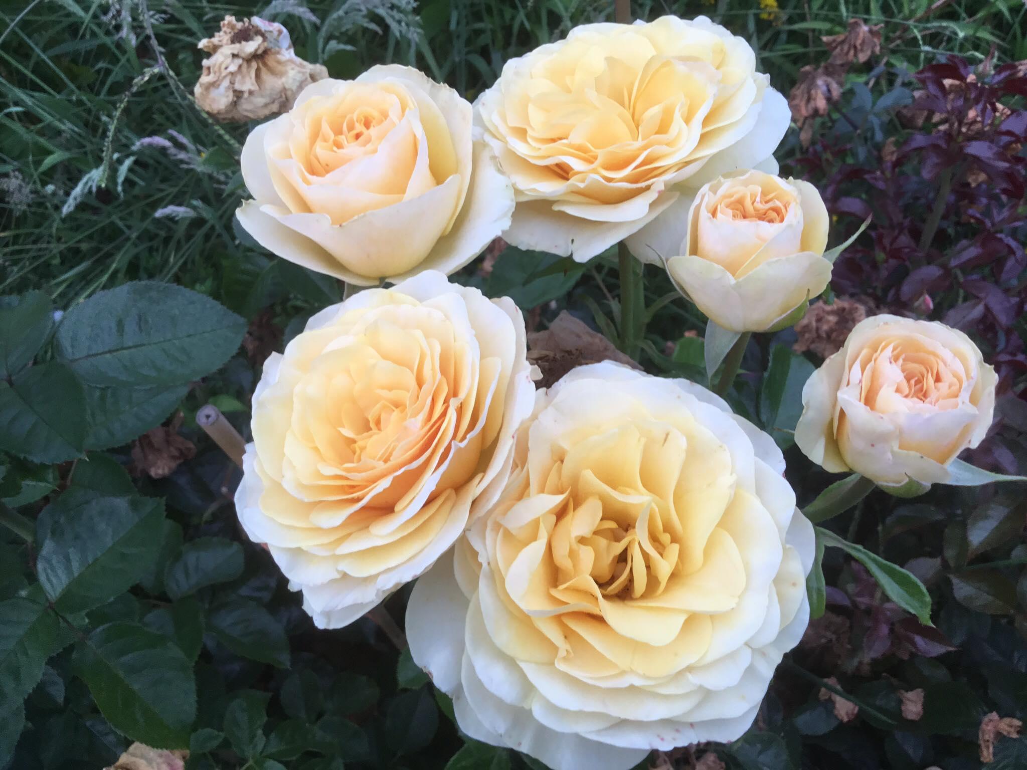 Rose #6.jpg
