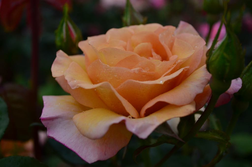 Rose #7.jpg