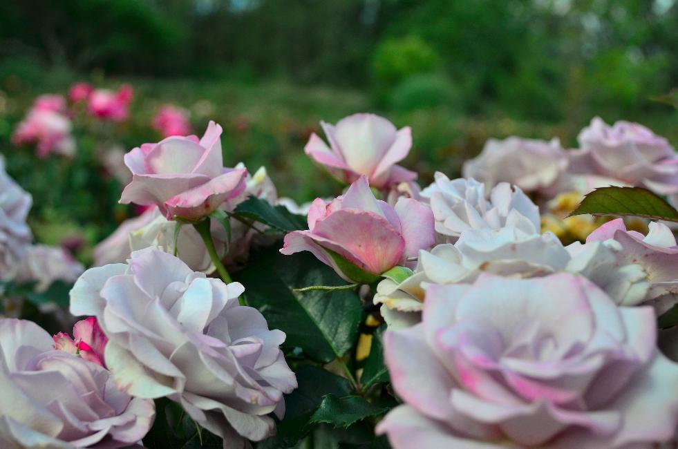 Rose #8