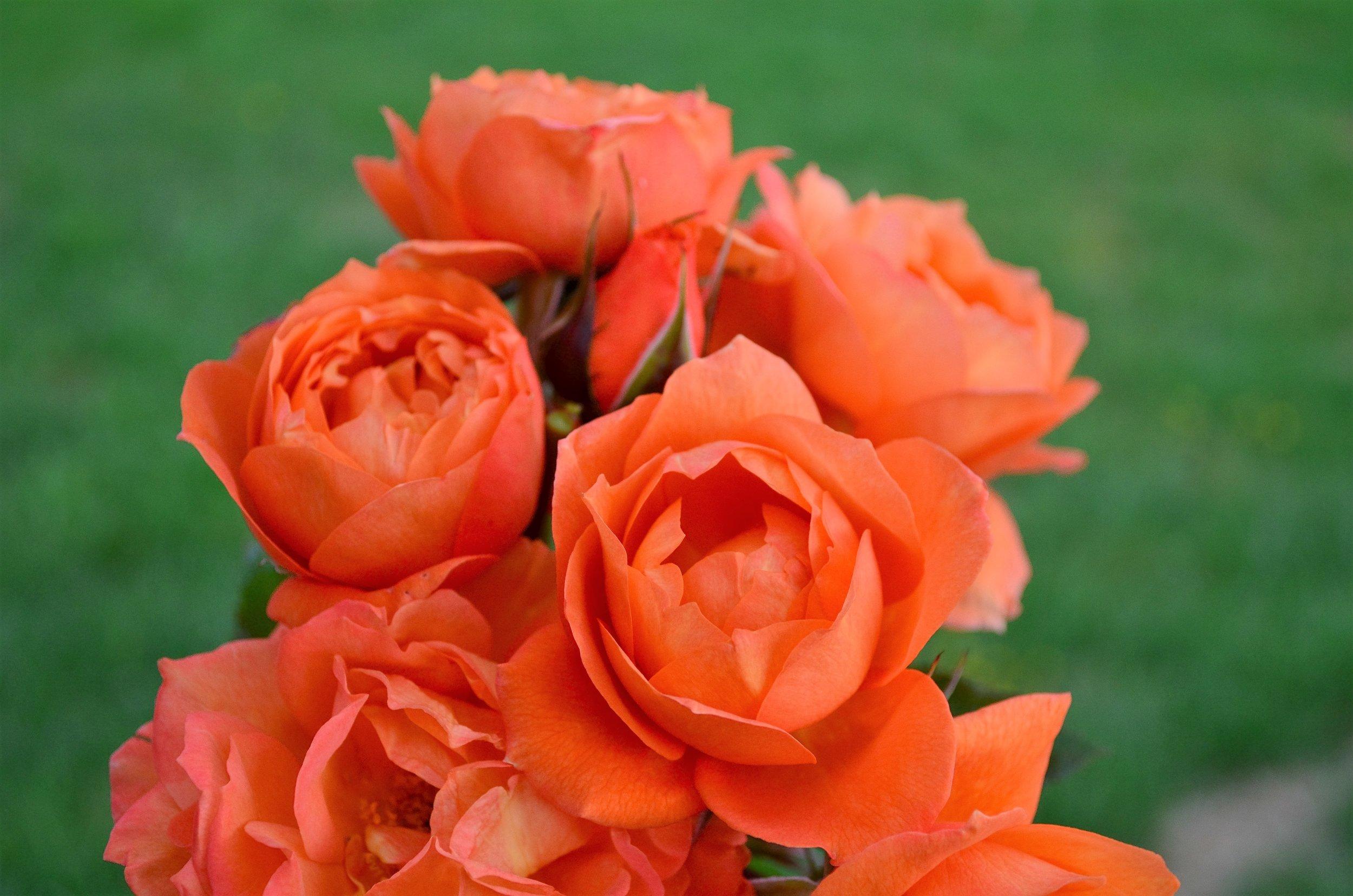 Rose #12