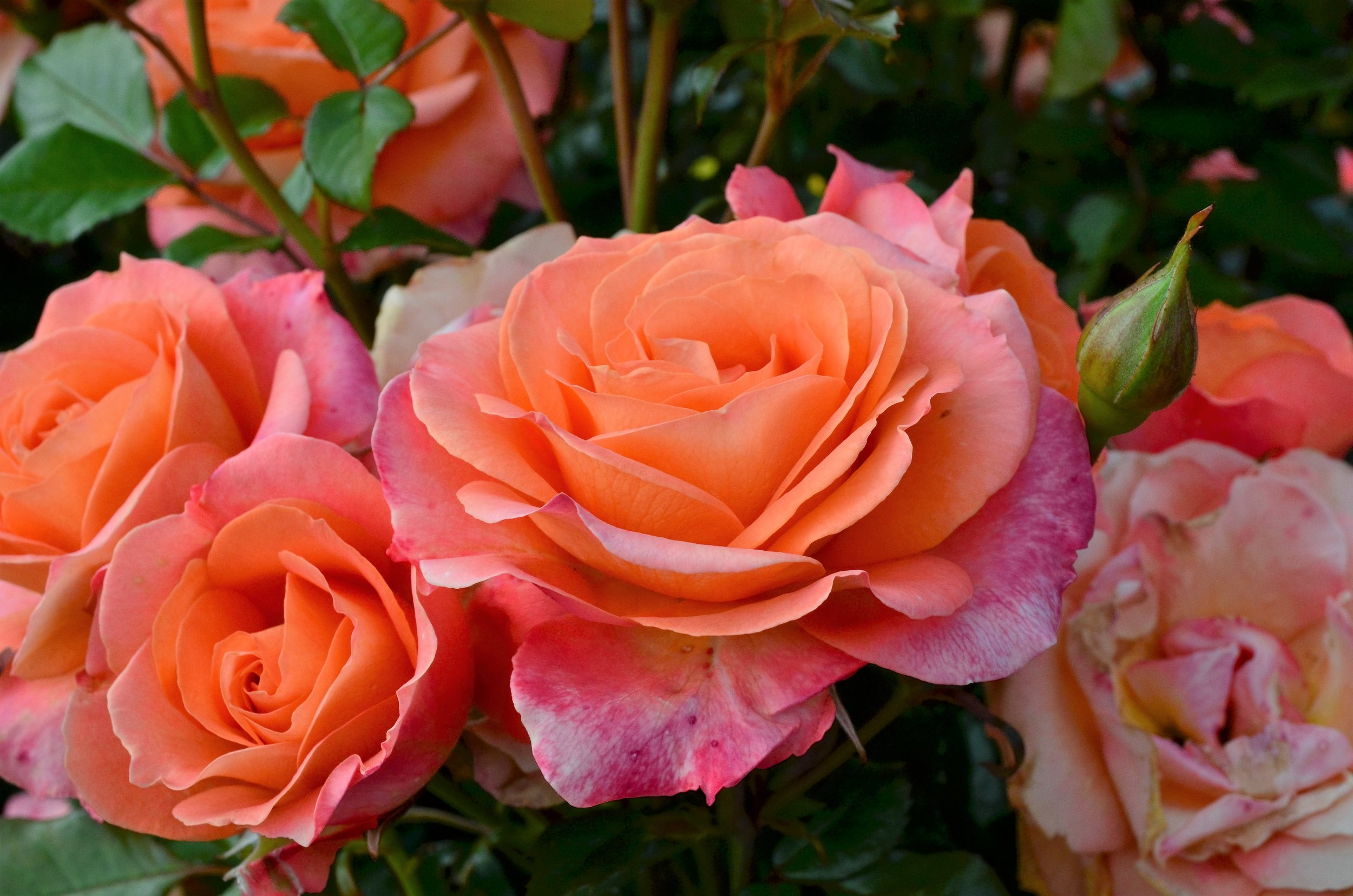 Rose #16