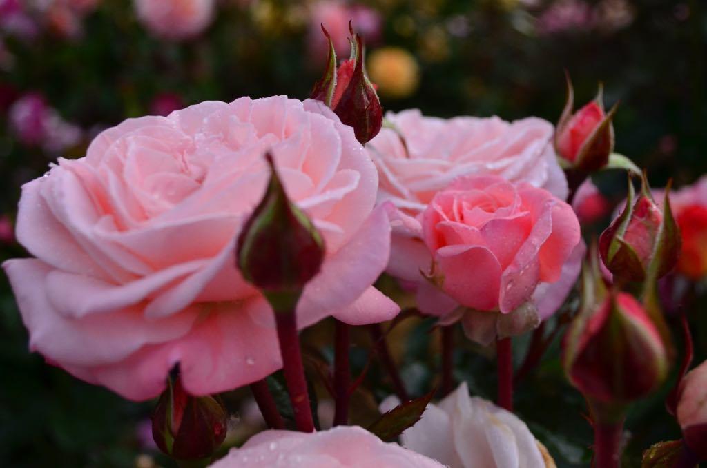 Rose #19