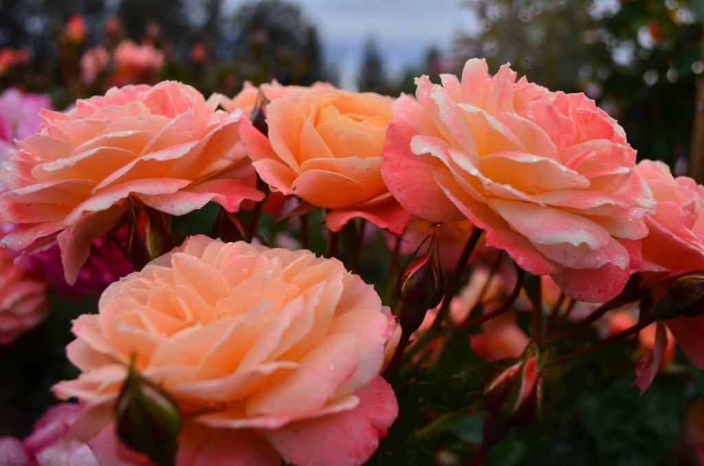 Rose #21.jpg
