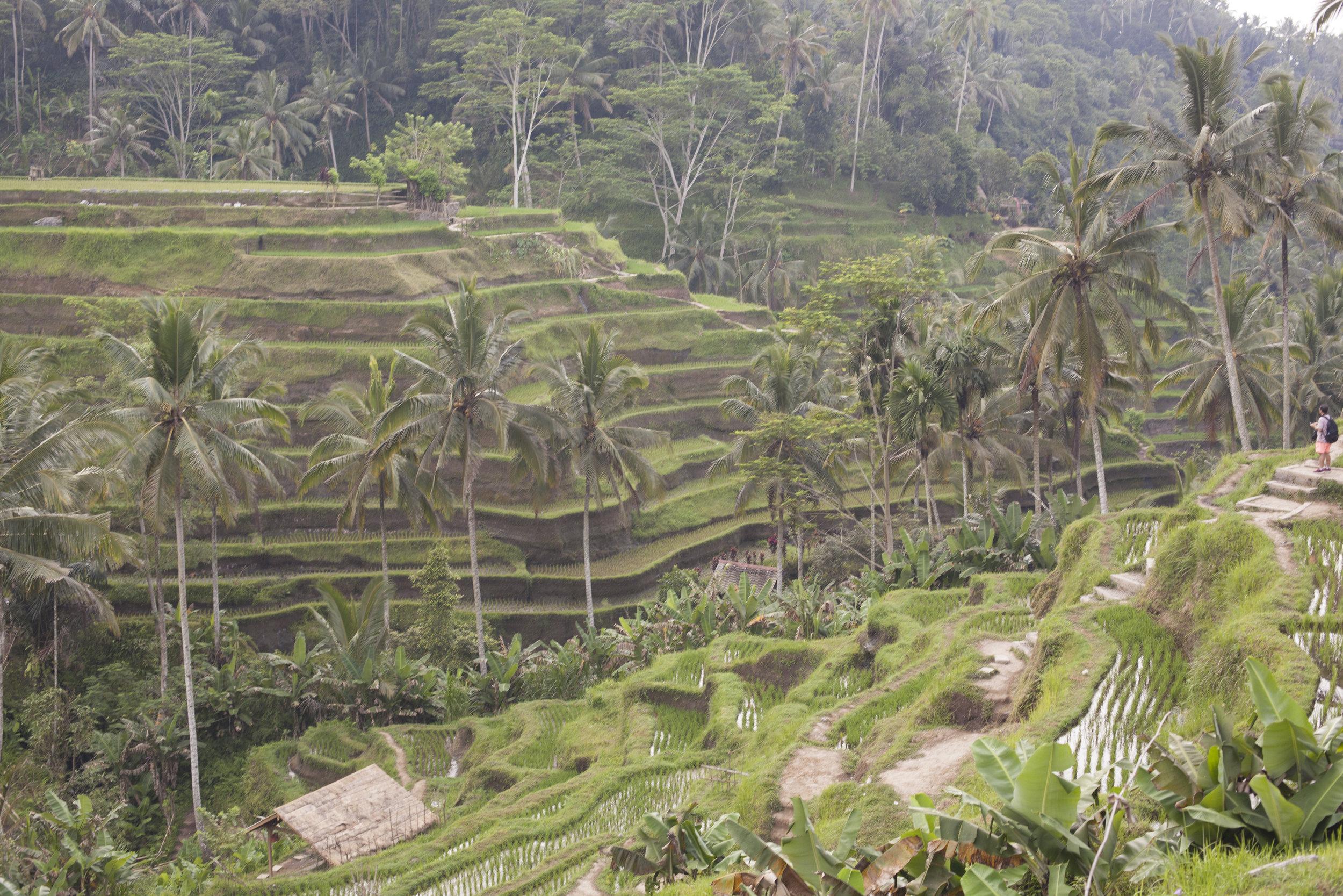 Rice Fields, Bali Indonesia