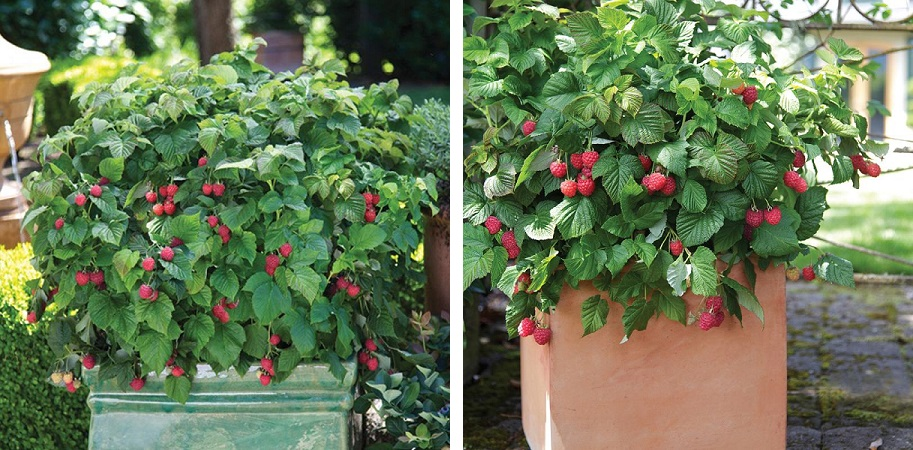 red raspberry bush in pot combined.jpg