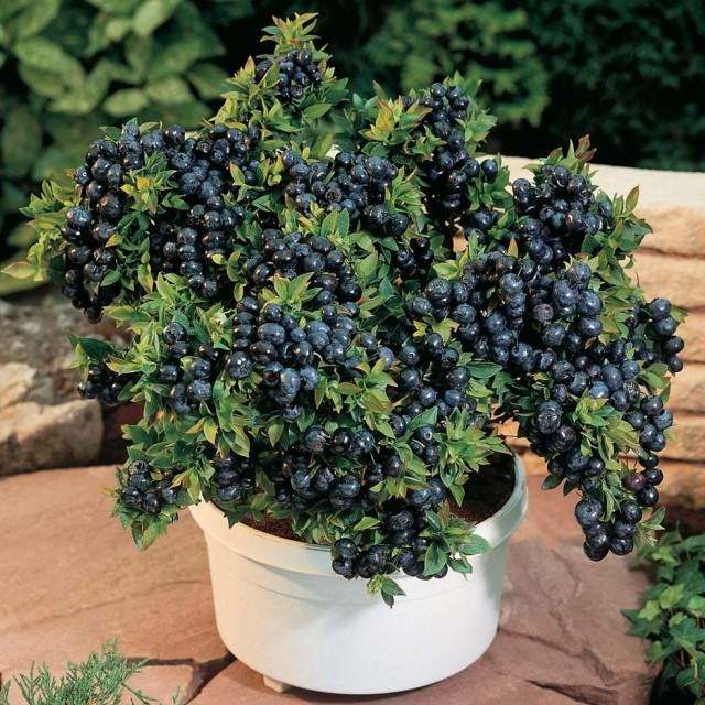 Blueberry-in-pot.jpg
