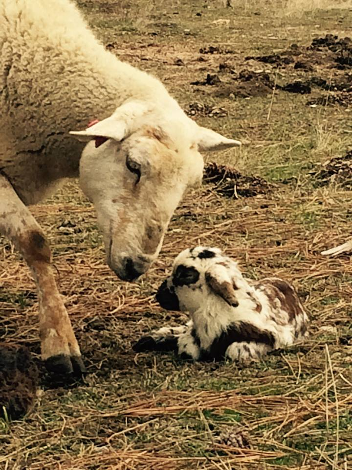 mom and baby lamb.jpg