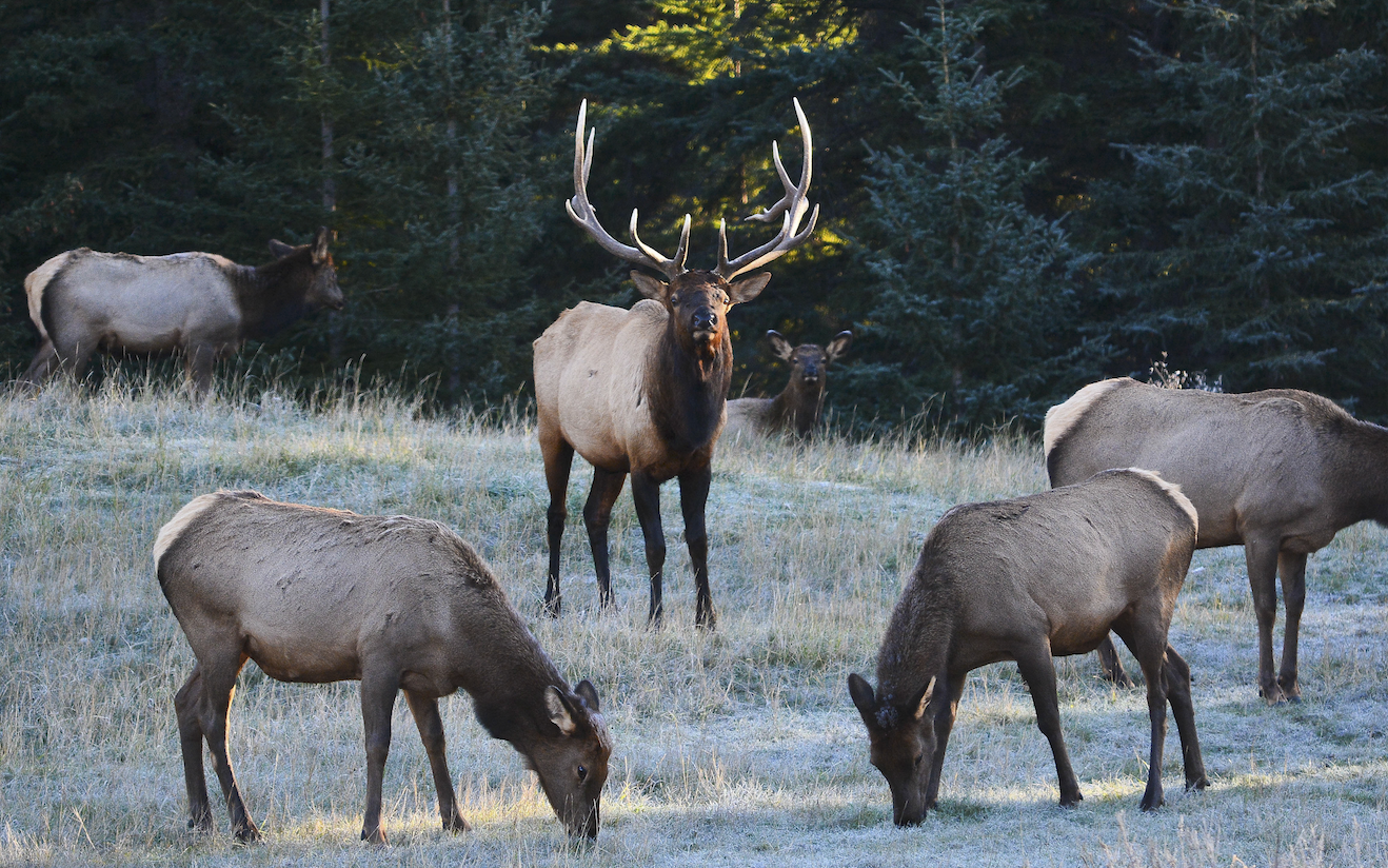 Elk in Canmore. Photo: Stephen Legault