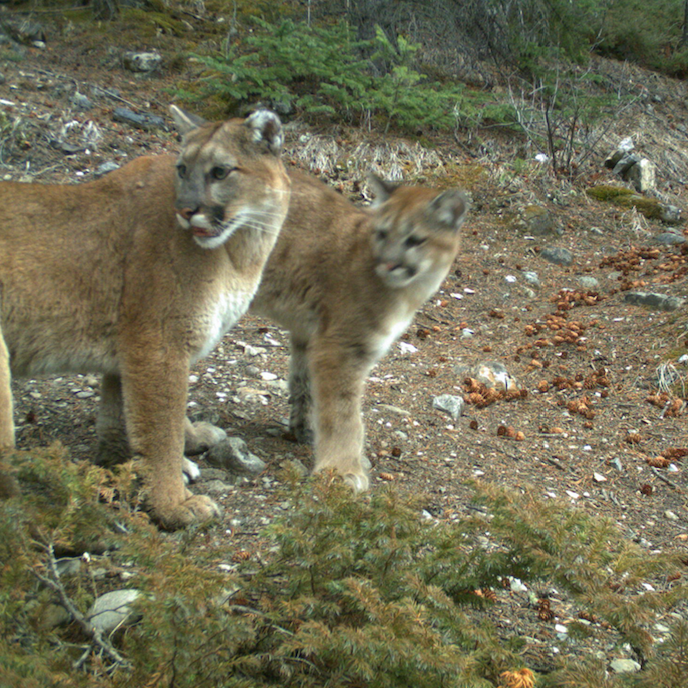 Two cougars around Canmore. Courtesy: Alberta Parks