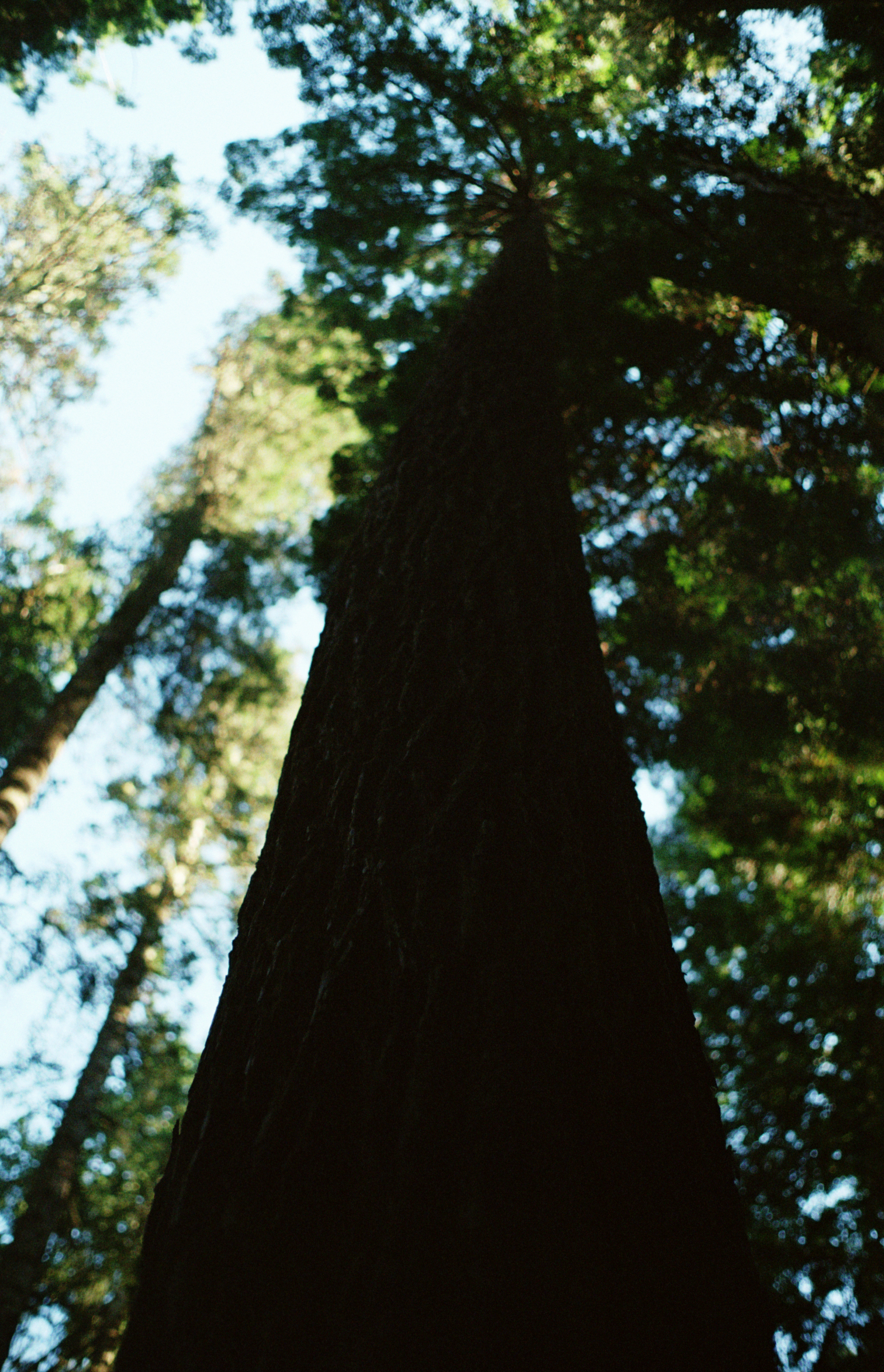 The Giant Redwoods of California