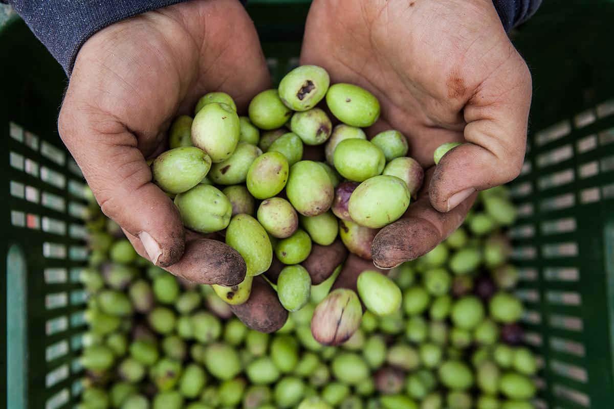 olive harvest rain israel winter green olive oil natural