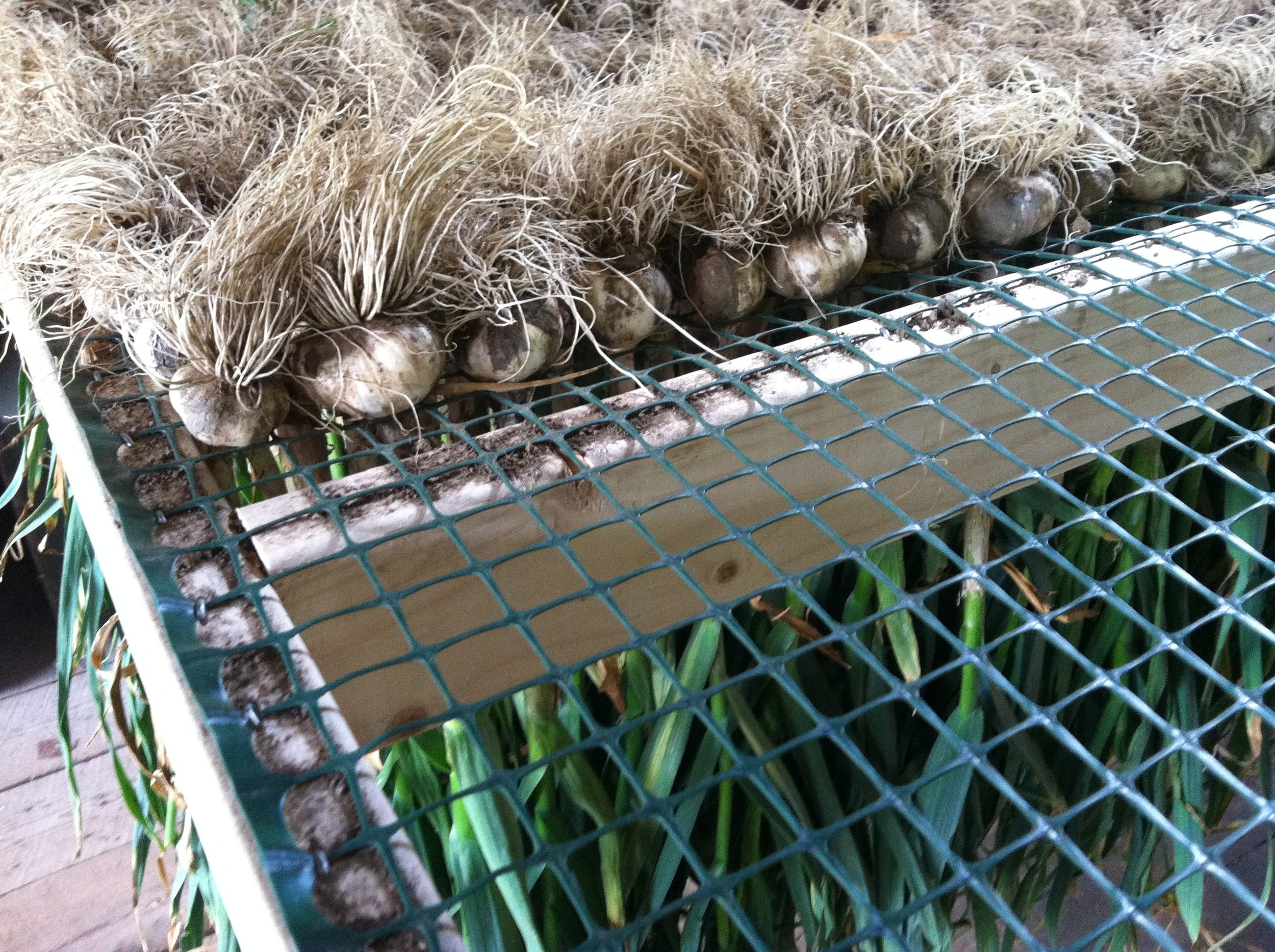 Garlic drying rack.