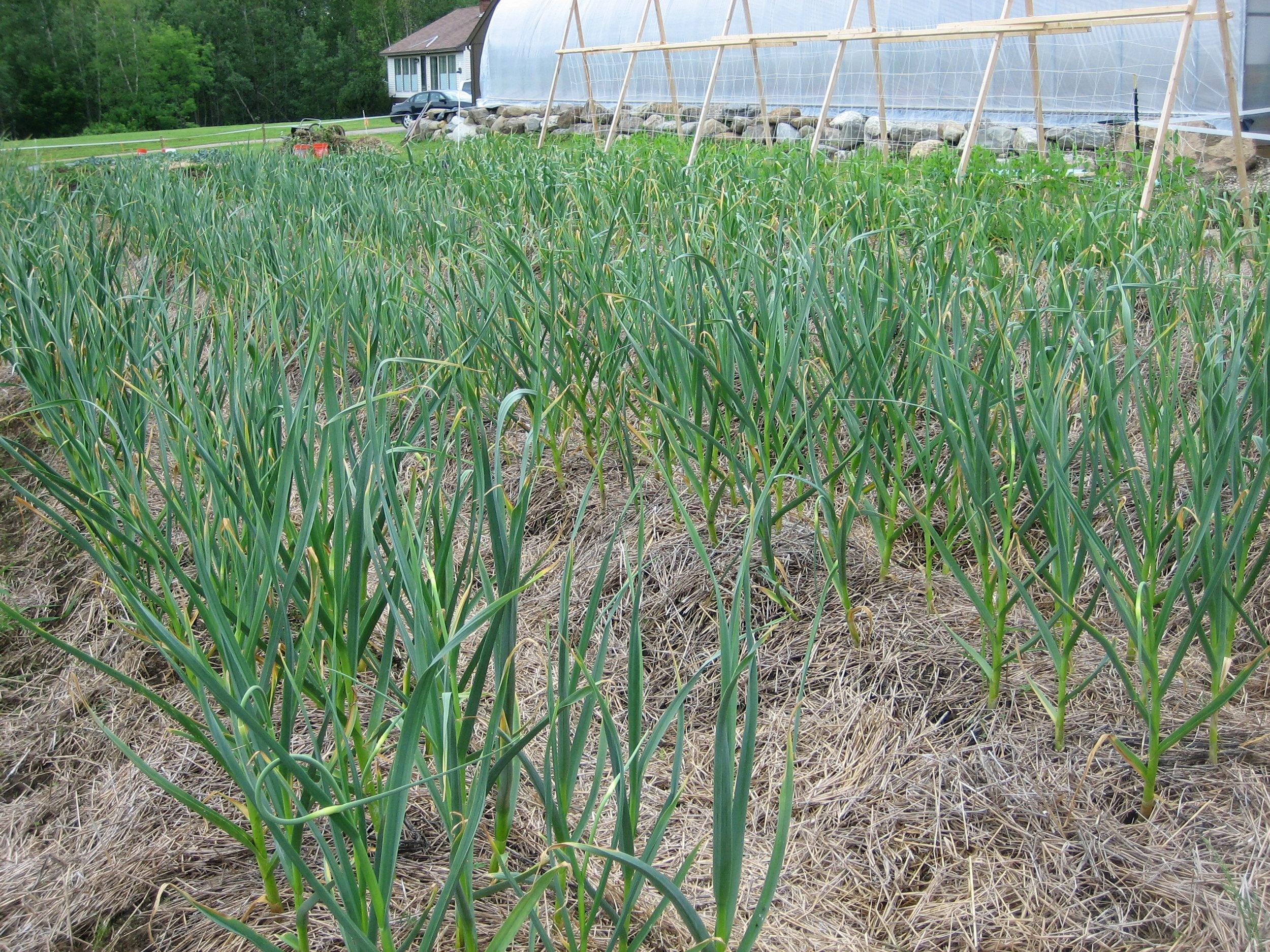 Garlic beds in mid-June.
