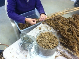 Carol threshing quinoa by hand.