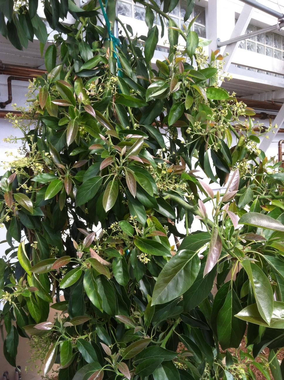 """Holiday"" Avocado tree in bloom."