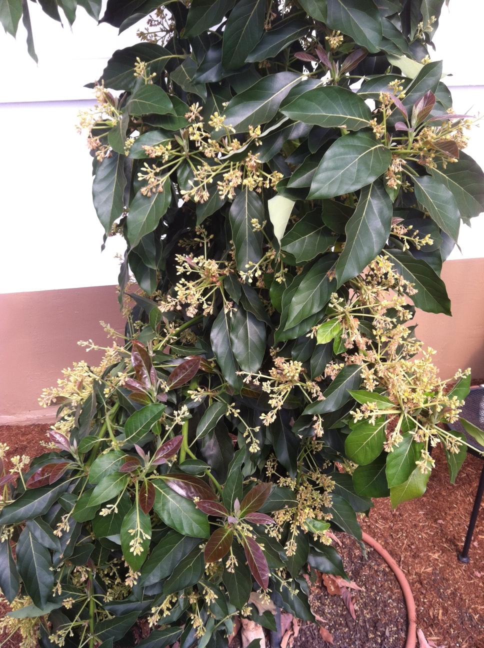 """""""Littlecado"""" avocado tree (dwarf Haas) in bloom."""
