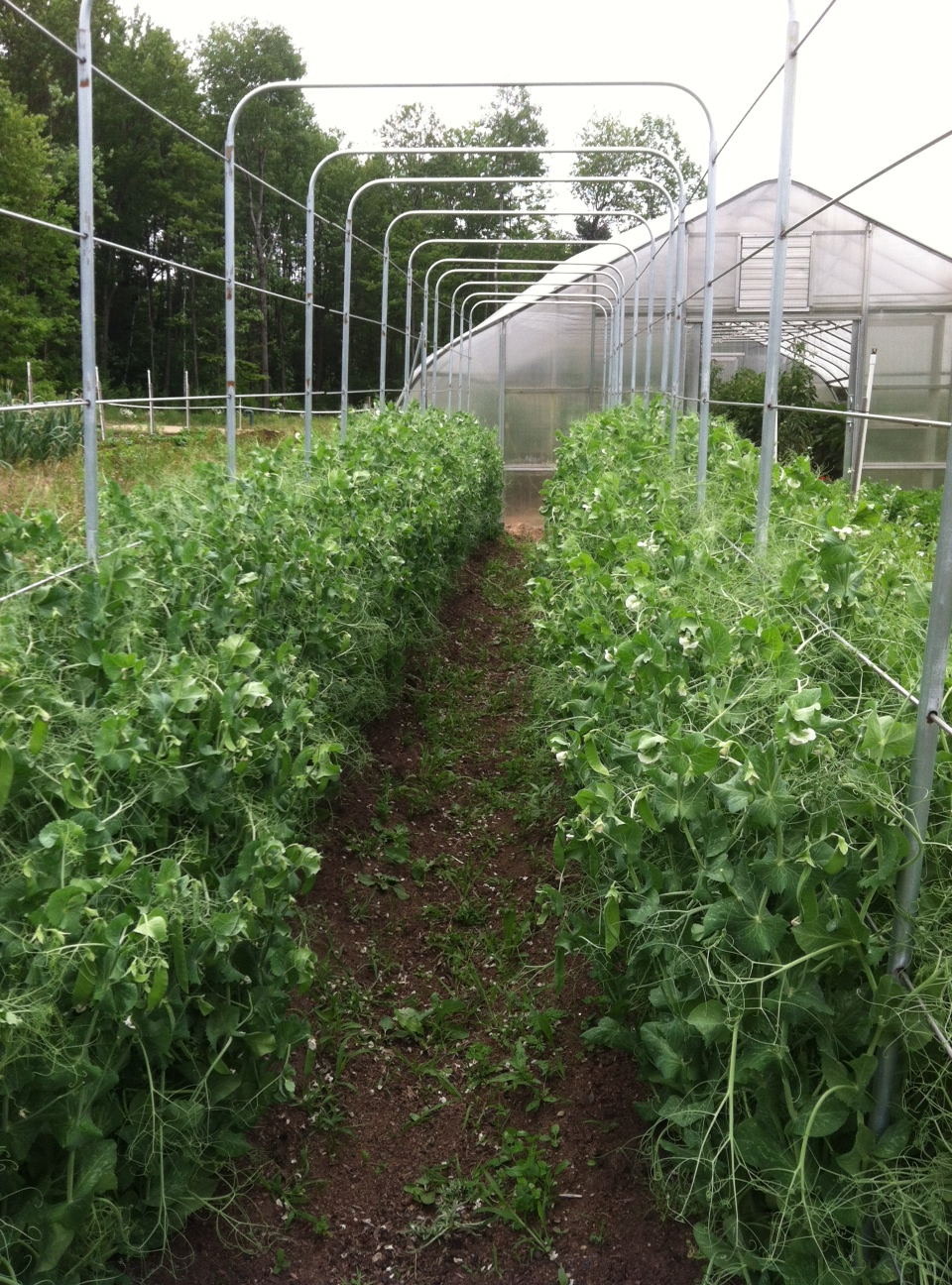 Pea vines well supported by trellis.
