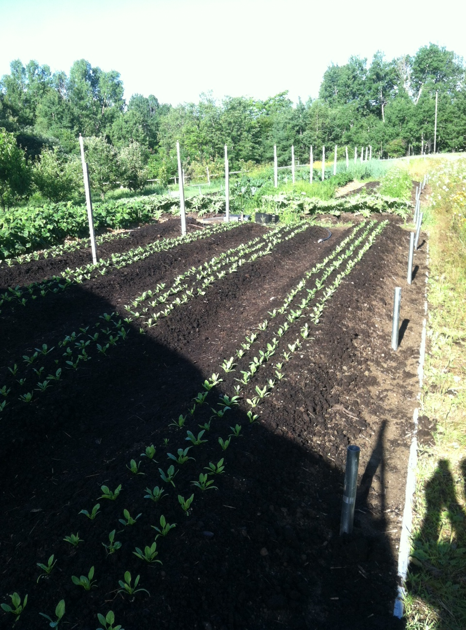 Pea vines and trellis removed, spinach seedlings planted for fall garden.