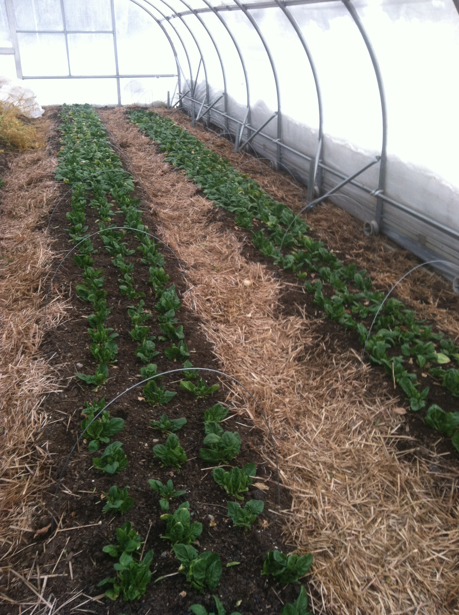 Rolling greenhouse over spinach, ready to be covered.