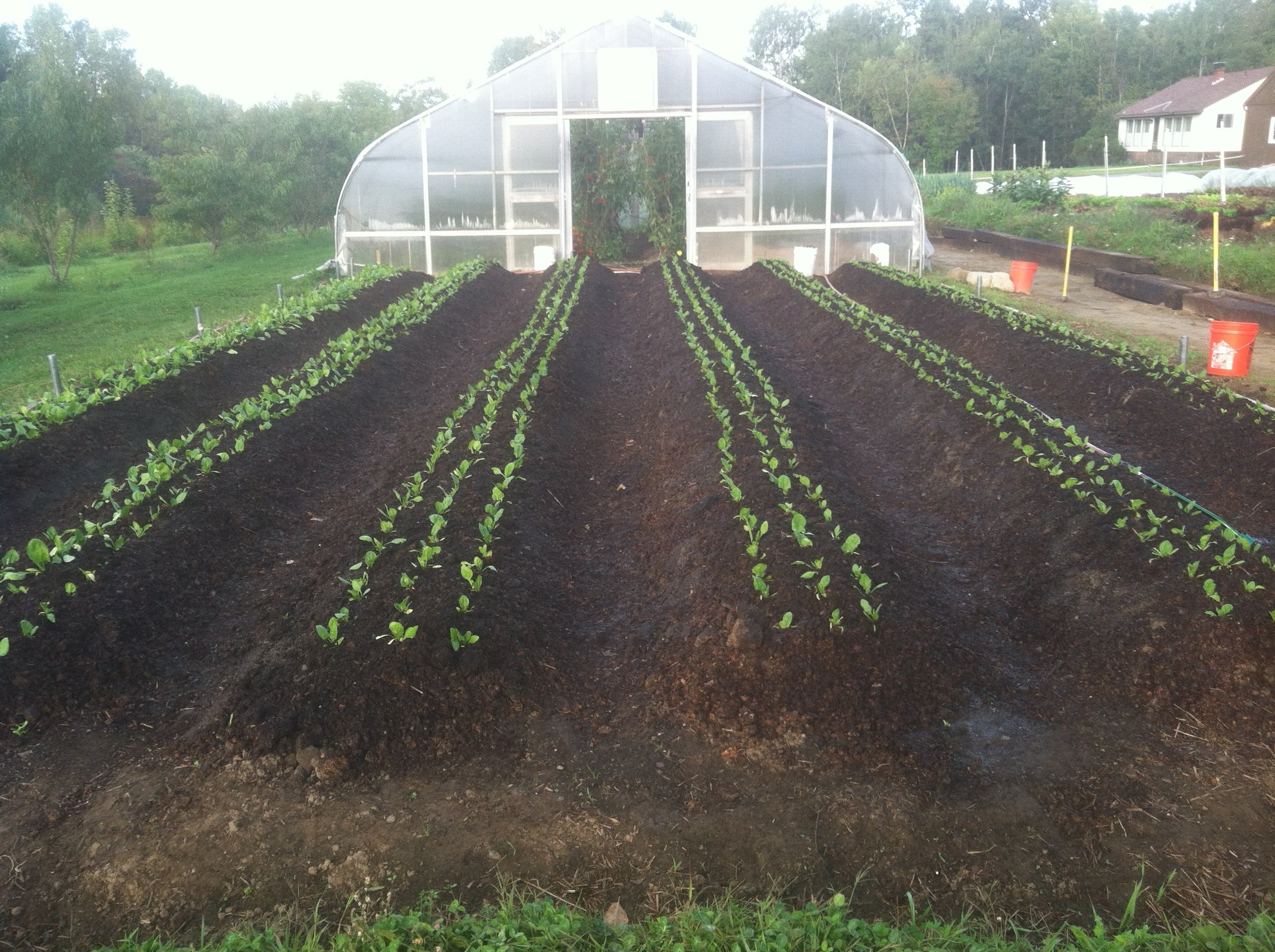 Spinach transplants in the ground!