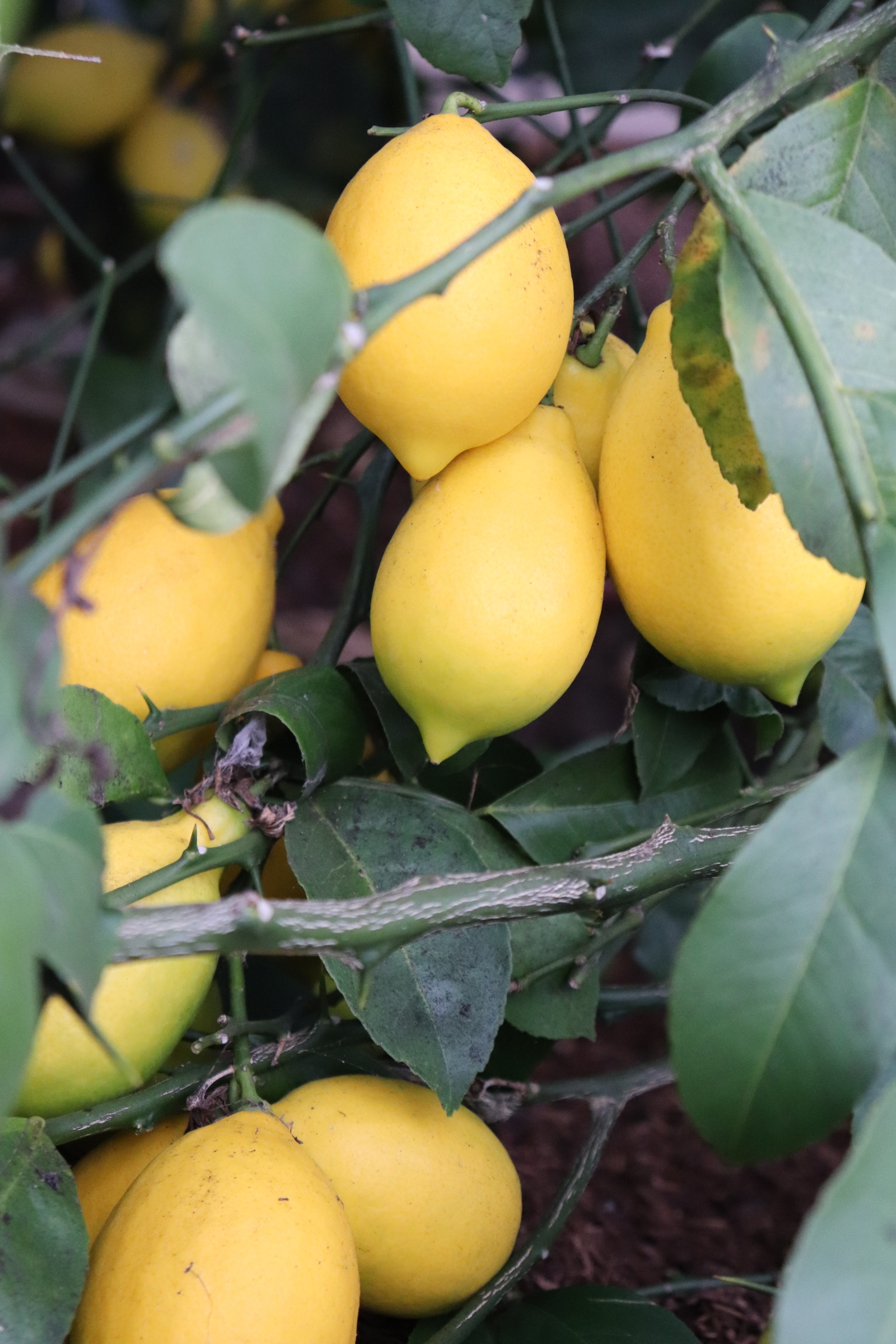 Gorgeous meyer lemons, ready for harvest