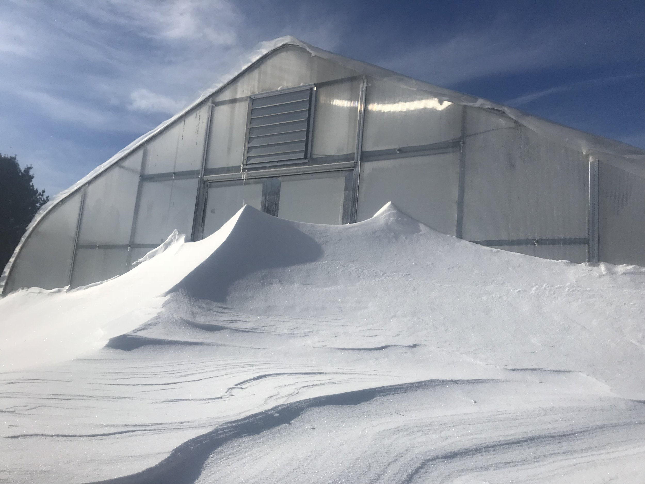 Snow drifts taller than us!  Winter growing is hard work!