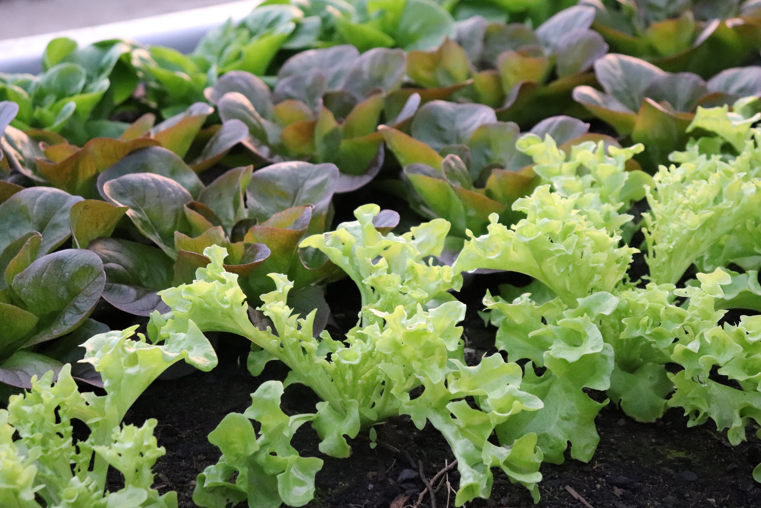 The freshest greenhouse salad greens