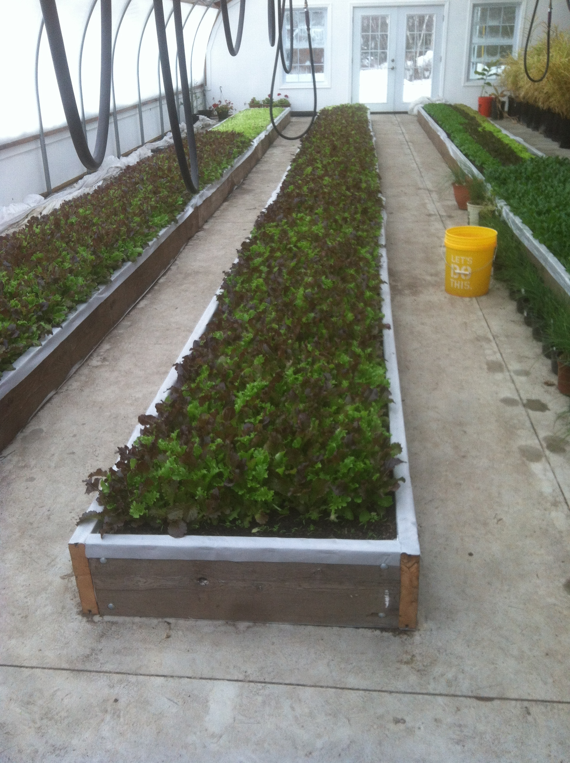 Raised beds with salad greens.