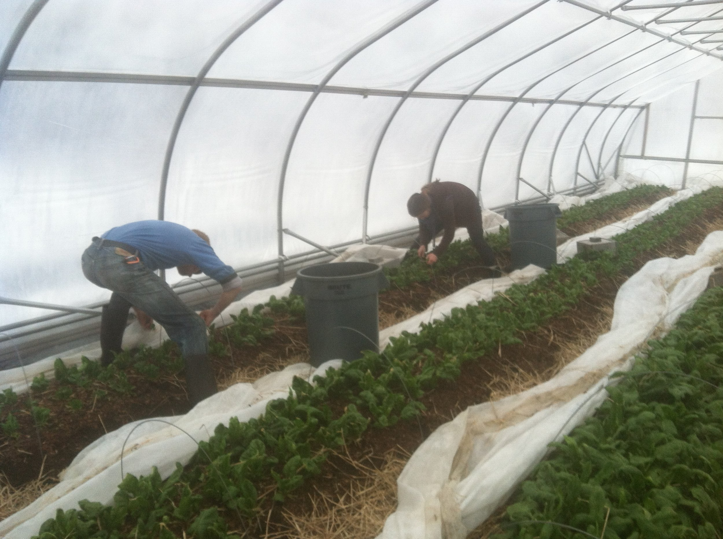 Albert and Laurel working the  winter spinach beds  today.