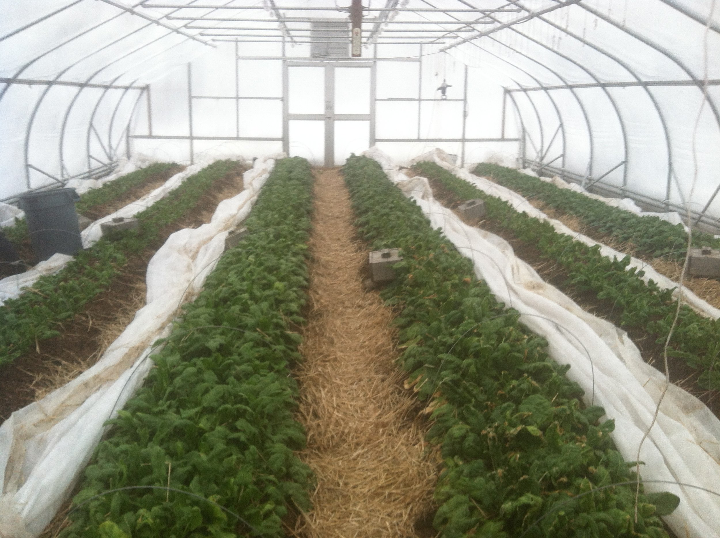 """Spinach plants hanging in there, despite the tough winter. The Eliot Coleman-style  vole traps  were pretty busy in the fall, but we got """"them"""", before they got much of the spinach. Haven't seen any vole activity here lately, although we've seen plenty over near the biochar retort."""