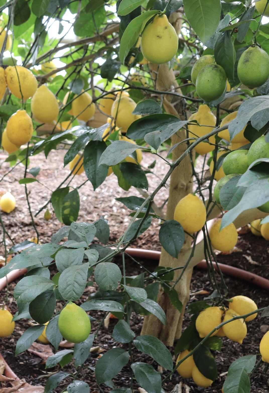 One of our Meyer Lemon trees