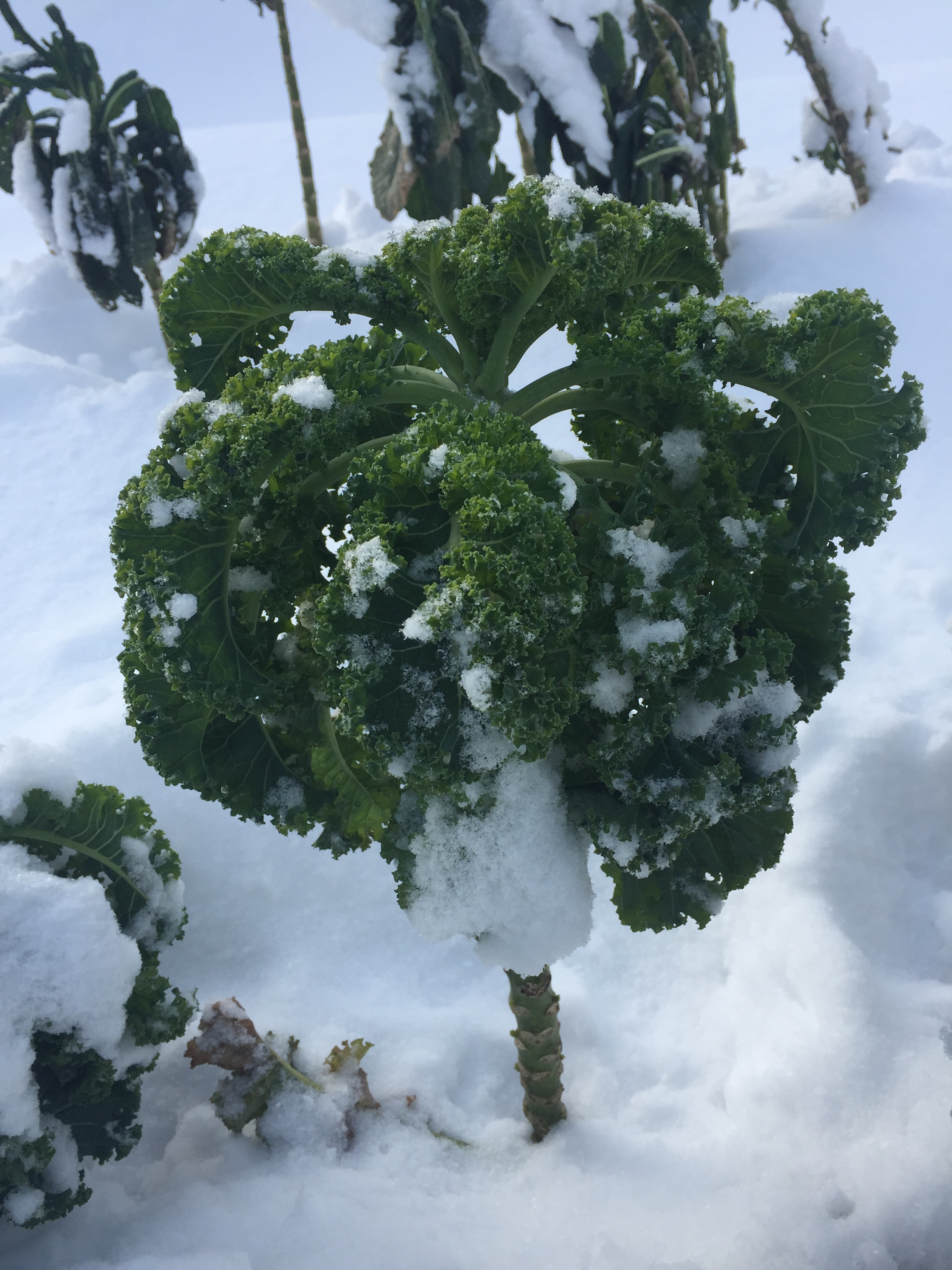 Sweet tasting winter kale