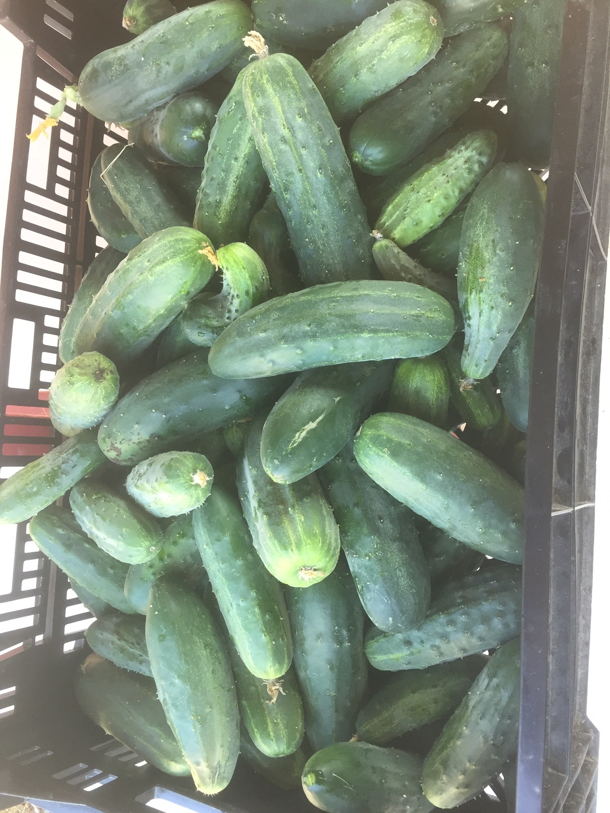 An abundance of pickling cucumbers at Angel Wing Farm