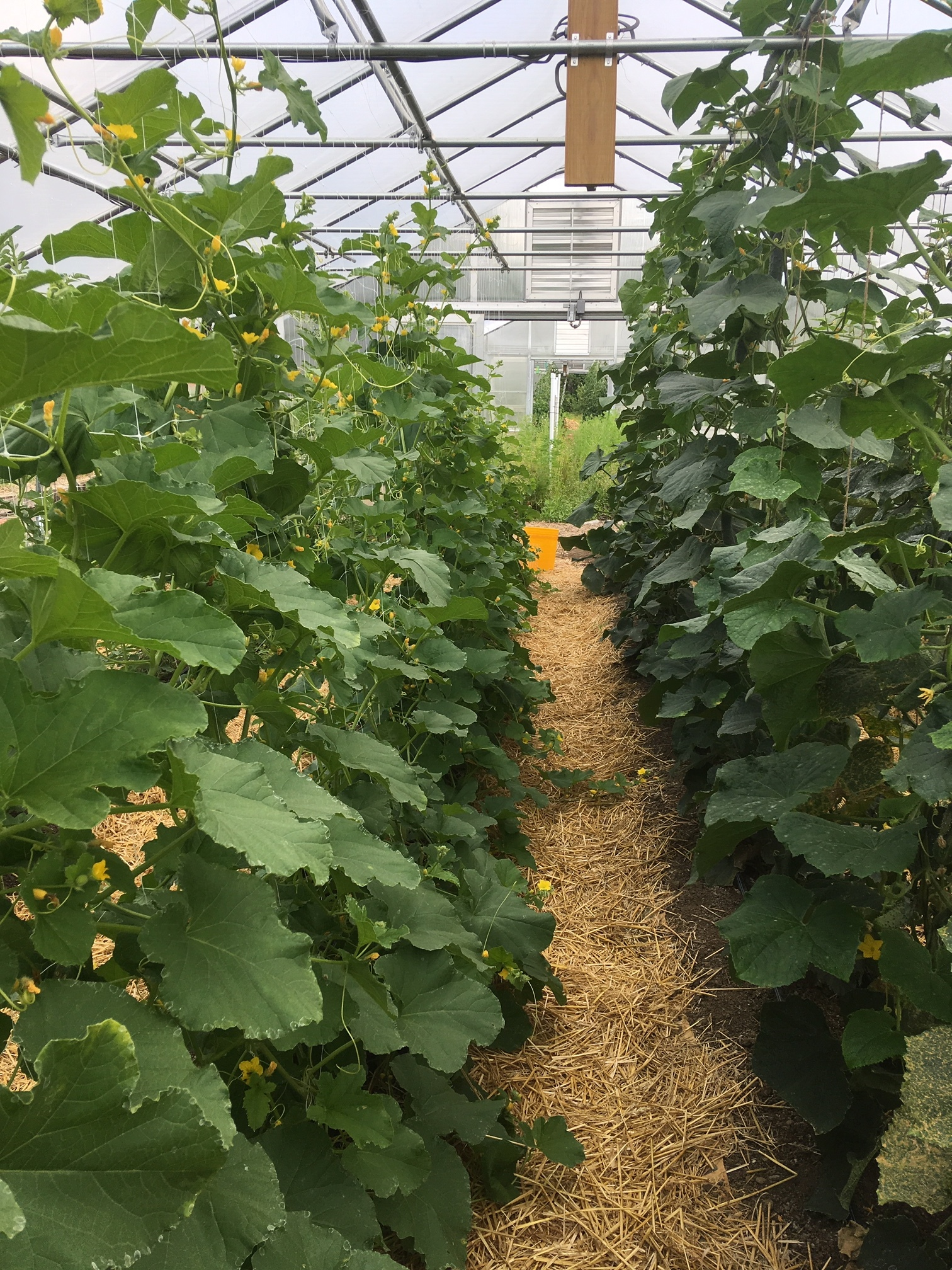 This year, in addition to our vertical-grown cucumbers (right), we are experimenting with vertical-grown melons (left) and watermelons.