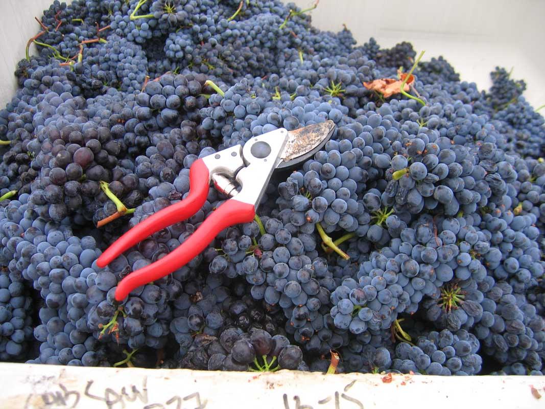 grape harvest- September 2009 150.jpg