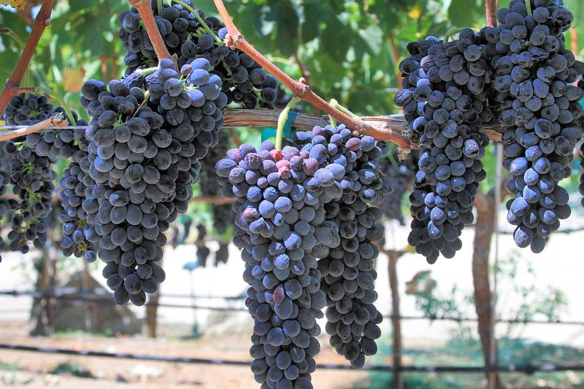 Grapes- September 2009 011.jpg