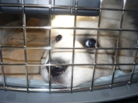 "Previous puppy ""Oshie"" in her airline kennel, ready to fly to Maine!"
