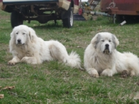Sally & Sheriff at 14 and 16 months old---An inseperable pair!