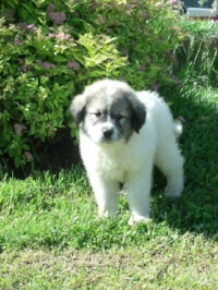 "AKC Mill Creek Guardian Samantha Sue ""Sammy"" as a puppy"